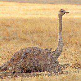 160727 ostrich (2)