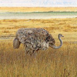 160727 ostrich (3)