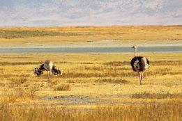 160727 ostrich (5)