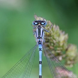 160729 Common blue male (1)