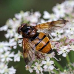 160806 Volucella inanis (1)