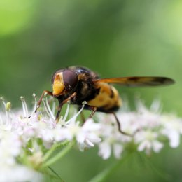 160806 Volucella inanis (2)