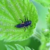160809 ladybird (3)