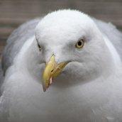 160813 herring gulls (1)