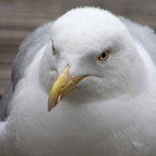 160813 herring gulls (3)