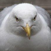 160813 herring gulls (4)