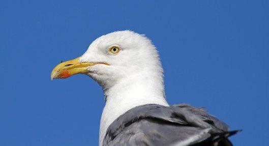 160813 herring gulls (7)