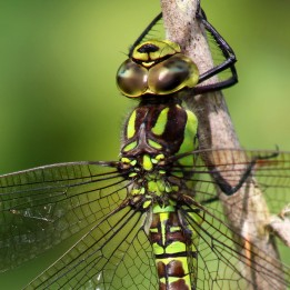 160815 Southern Hawker (3)