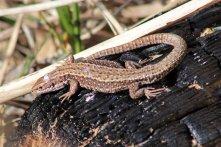 160818 reptile ramble (1)