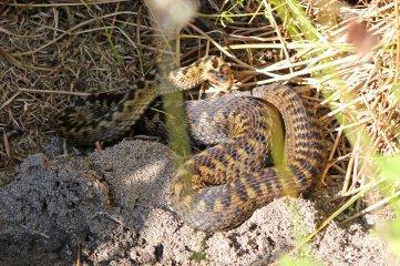 160818 reptile ramble (3)