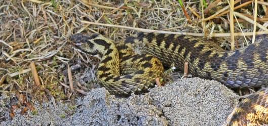 160818 reptile ramble (4)