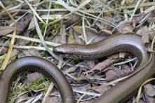 160818 reptile ramble (5)