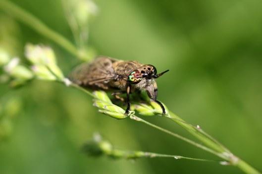 160822 Horsefly Haematopota sp (4)