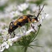 160825 Longhorn beetle (2)