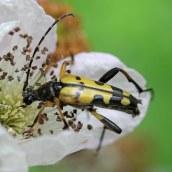 160825 Longhorn beetle (3)