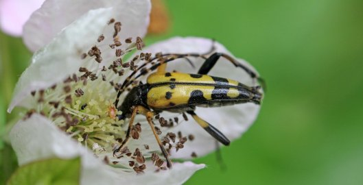 160825 Longhorn beetle (5)