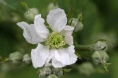 160826 Rubus fruticosus agg (1)