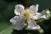 160826 Rubus fruticosus agg (2)