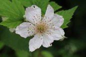160826 Rubus fruticosus agg (4)