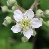160826 Rubus fruticosus agg (5)