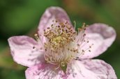 160826 Rubus fruticosus agg (6)