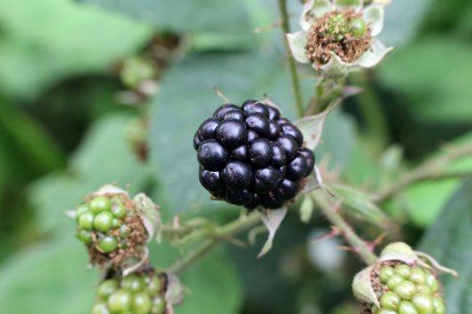 160826 Rubus fruticosus agg (9)