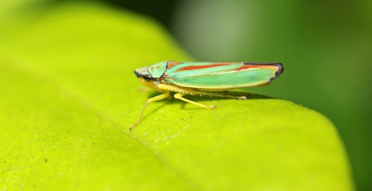 160830 Rhododendron leafhopper (1)