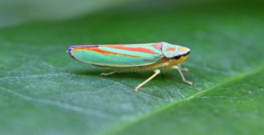 160830 Rhododendron leafhopper (2)