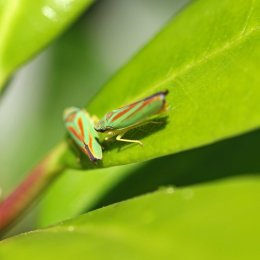 160830 Rhododendron leafhopper (6)
