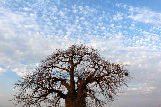 160831 baobab (2)