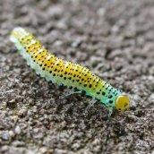 4 Sawfly rose larva CathaysCem