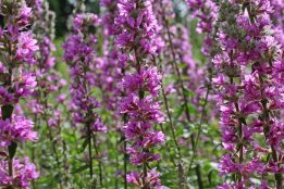 Rosebay willowherb Chamerion angustifolium