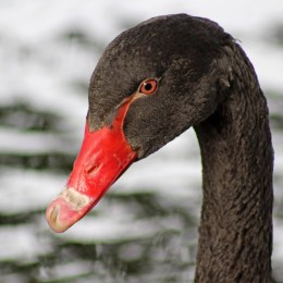 swan black (5)