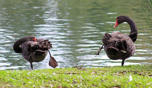 swan black (6)