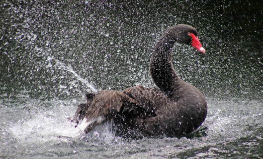 swan black (7)