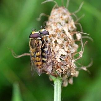 160901 Eupeodes corollae (a)