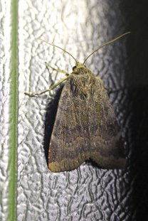 160904 Lesser Broad-bordered Yellow Underwing