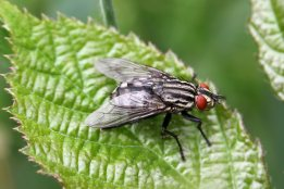 160906 1 Sarcophaga sp Flesh fly