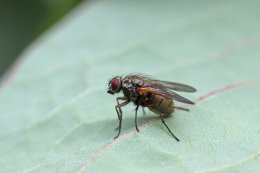 160906 2 Coenosia sp (Muscidae)