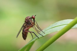 160906 5 Daggerfly Empis sp