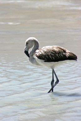160914-flamingos-2