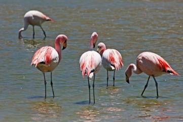 160914-flamingos-7