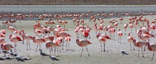 160914-flamingos-8