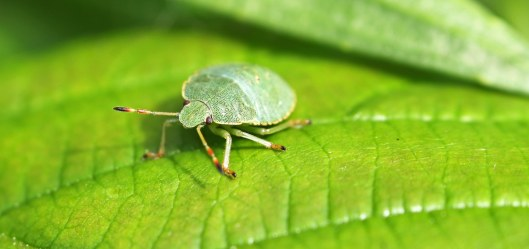 160915-green-shieldbug-1-3rdinst
