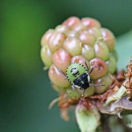 160915-green-shieldbug-2-2ndinst