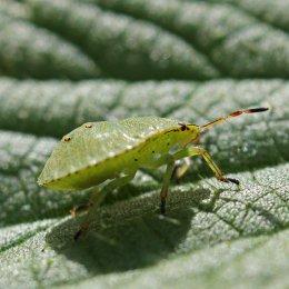 160915-green-shieldbug-3-3rdinst