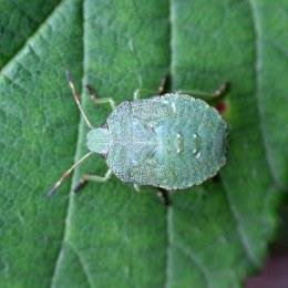 160915-green-shieldbug-5