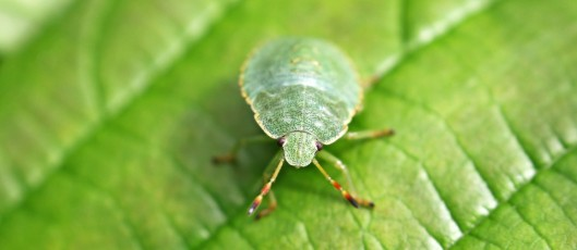 160915-green-shieldbug-6-3rdinst