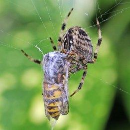 160919 garden spiders (2)