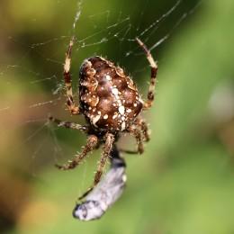 160919 garden spiders (4)